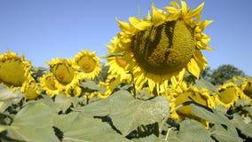 Зацветая большие заводы annuus подсолнечника солнцецветов на поле в временени Цветя яркая желтая предпосылка солнцецветов сток-видео