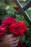 Зацветая бутоны roses' и рука невесты с серебряными кольцами Стоковые Фотографии RF