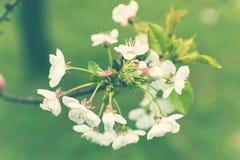 зацветая вал весны вишни Конец-вверх Вишневое дерево в саде Добавьте влияние помоха и другой фильтр Стоковые Изображения