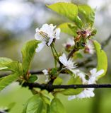 зацветая вал весны вишни Конец-вверх Вишневое дерево в саде Стоковое Фото
