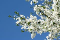 зацветая вал вишни Стоковая Фотография