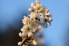 зацветая вал ветви Стоковая Фотография