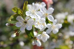 зацветая вал ветви Стоковое Фото