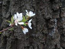 зацветая вал ветви Стоковые Фотографии RF