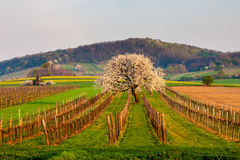 зацветая вал вишни Стоковые Изображения RF