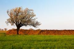 зацветая вал вишни Стоковые Фотографии RF