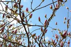 зацветая вал magnolia Стоковые Фото