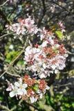 зацветая вал sakura стоковые фотографии rf