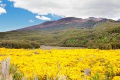 Зацветая веник в Tongariro NP, Новой Зеландии Стоковая Фотография RF