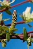 зацветая верба salix integra стоковая фотография
