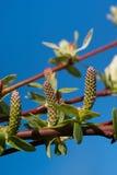 зацветая верба salix integra стоковые фото