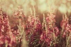 Зацветая верб-трава полевых цветков стоковое изображение rf