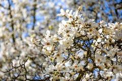 Зацветая ветви белых цветков магнолии против голубого неба весной Праги в чехии стоковая фотография rf