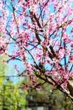 Зацветая ветви вишневого дерева против Стоковая Фотография RF