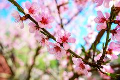 Зацветая ветви вишневого дерева против Стоковые Фото