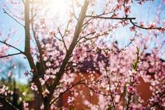 Зацветая ветви вишневого дерева против Стоковое Фото
