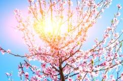 Зацветая ветви вишневого дерева против Стоковые Изображения
