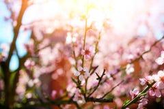 Зацветая ветви вишневого дерева против Стоковое фото RF