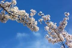 Зацветая ветви вишневого дерева против голубого неба Стоковые Фото