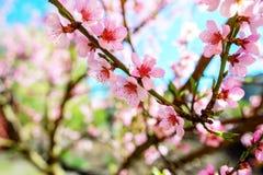 Зацветая ветви вишневого дерева против Стоковая Фотография
