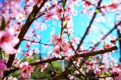 Зацветая ветви вишневого дерева против Стоковые Фотографии RF
