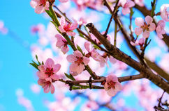 Зацветая ветви вишневого дерева против Стоковые Изображения RF