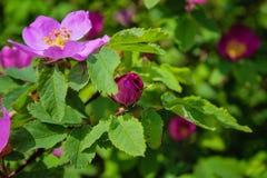 Зацветая ветви дикой розы на запачканной предпосылке Цветок красивого пинка дикий розовый с запачканными зелеными листьями и свет стоковое фото rf
