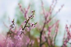 Зацветая ветви персика Стоковые Изображения
