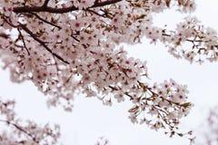 Зацветая ветвь вишневого дерева Стоковые Изображения RF