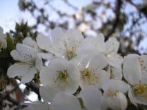 Зацветая ветвь вишневого дерева в апреле Стоковое Изображение RF