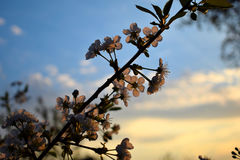 Зацветая ветвь вишневого дерева Стоковая Фотография RF