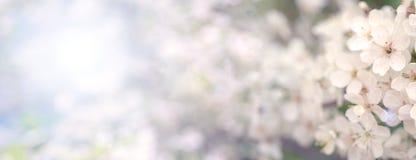 Зацветая ветвь вишни весной садовничает на свадебной церемонии Стоковые Изображения