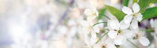 Зацветая ветвь вишни весной садовничает на свадебной церемонии Стоковая Фотография