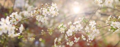 Зацветая ветвь вишни весной садовничает на cerem свадьбы Стоковые Изображения RF