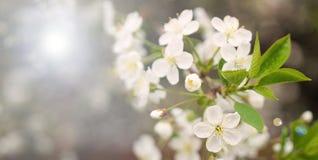 Зацветая ветвь вишни весной садовничает на cerem свадьбы Стоковые Изображения