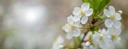Зацветая ветвь вишни весной садовничает на cerem свадьбы Стоковое Изображение RF