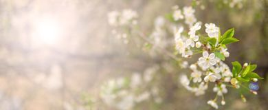 Зацветая ветвь вишни весной садовничает на cerem свадьбы Стоковое Фото