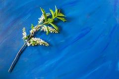 Зацветая ветвь вишни птицы лежит на ультрамодной голубой предпосылке с космосом экземпляра Стоковое фото RF