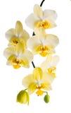 Зацветая ветвь желтой орхидеи, фаленопсис изолирована на wh Стоковые Фото