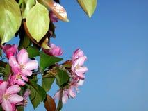 Зацветая ветвь яблони против сини стоковое изображение rf