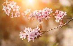 Зацветая ветвь японских цветков вишни Стоковые Фото