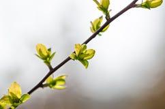 Зацветая ветвь Стоковая Фотография RF