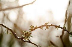 Зацветая ветвь Стоковые Изображения