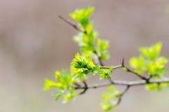 Зацветая ветвь Стоковые Фото