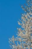 Зацветая вишневое дерево птицы Стоковая Фотография