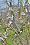 Зацветая вишневое дерево 11 Стоковые Фотографии RF