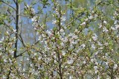 Зацветая вишневое дерево 14 Стоковые Изображения RF