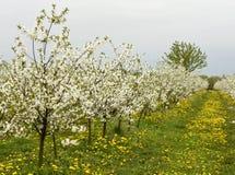 Зацветая вишневые деревья, сад вишни весной стоковые фото