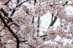 Зацветая вишневые цвета в Zhongshan паркуют весной, Qingdao, Китай стоковые фотографии rf