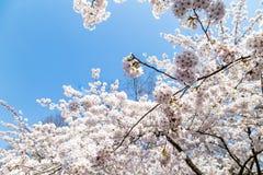 Зацветая вишневые цвета в Zhongshan паркуют весной, Qingdao, Китай стоковая фотография rf